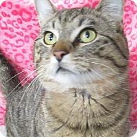 Domestic Shorthair Cat for adoption in Lloydminster, Alberta - Mervin