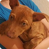 Adopt A Pet :: Fortuna - Las Cruces, NM