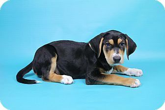 Shepherd (Unknown Type)/Hound (Unknown Type) Mix Puppy for adoption in Joliet, Illinois - Bebette