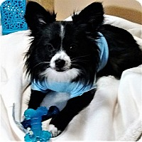 Papillon Puppy for adoption in Madisonville, Tennessee - Corey