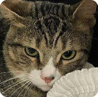 Domestic Shorthair Cat for adoption in New York, New York - Cole