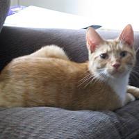 Adopt A Pet :: OLIVER  II - Hamilton, NJ