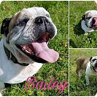 Adopt A Pet :: Bailey - Foster, RI
