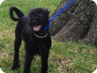 Schnauzer (Standard) Mix Dog for adoption in Houston, Texas - Bond
