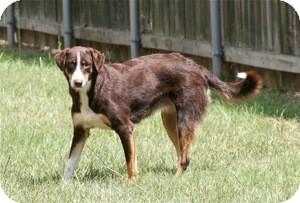 Border Collie Mix Dog for adoption in Lufkin, Texas - Coco