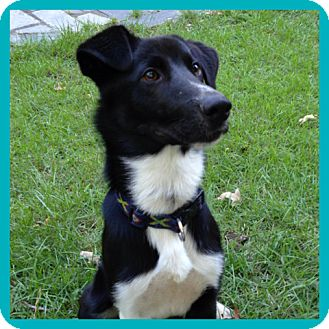 Border Collie/Springer Spaniel Mix Dog for adoption in CHICAGO, Illinois - MARTY