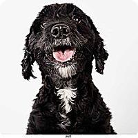 Adopt A Pet :: Jazz - New York, NY