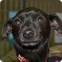 Adopt A Pet :: Paddy - Meridian, ID
