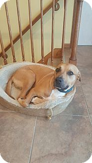 Pit Bull Terrier/Labrador Retriever Mix Dog for adoption in ST LOUIS, Missouri - Perry