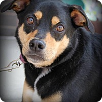 Adopt A Pet :: Dakota - Round Lake Beach, IL