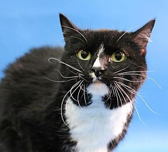Domestic Shorthair Cat for adoption in Overland Park, Kansas - Gypsy