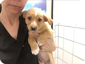 Shepherd (Unknown Type)/Labrador Retriever Mix Puppy for adoption in Agoura Hills, California - Monaco