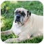 Photo 3 - Mastiff Dog for adoption in Broomfield, Colorado - Grace