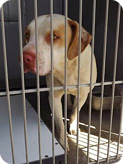 Labrador Retriever/Staffordshire Bull Terrier Mix Dog for adoption in San Diego, California - Hansel URGENT
