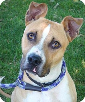 American Pit Bull Terrier Mix Dog for adoption in Red Bluff, California - Tyson