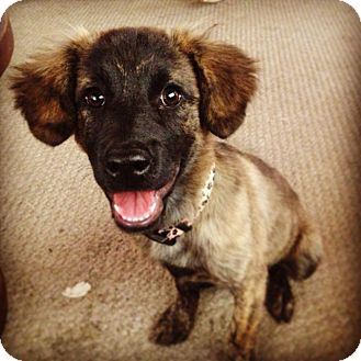 Cocker Spaniel/Dutch Shepherd Mix Puppy for adoption in Torrance, California - Shenzie
