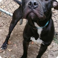American Pit Bull Terrier Dog for adoption in Pasadena, Maryland - King