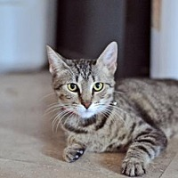 Domestic Shorthair Cat for adoption in Santa Monica, California - Nala