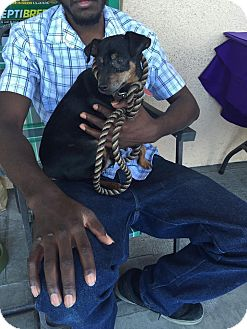 Miniature Pinscher Dog for adoption in Las Vegas, Nevada - Arif
