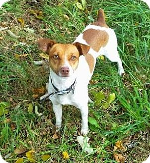 Jack Russell Terrier Mix Puppy for adoption in Wichita, Kansas - Spunky