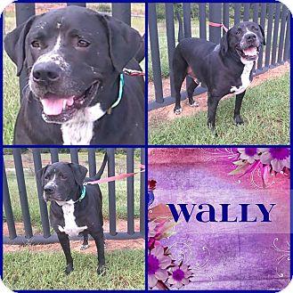 Labrador Retriever Mix Dog for adoption in Cleveland, Georgia - Wally