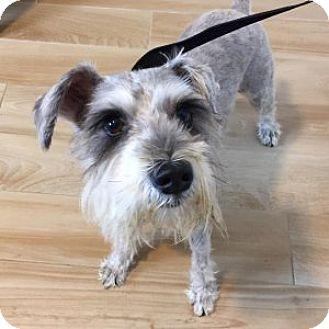 Miniature Schnauzer Dog for adoption in Redondo Beach, California - Eugene