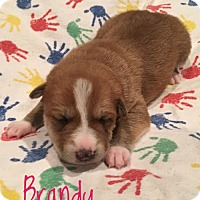 Adopt A Pet :: Brandy - Milton, GA