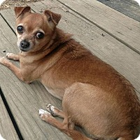 Chihuahua Dog for adoption in Fairfield, Ohio - Sugar