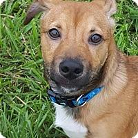 Adopt A Pet :: Lance - Dayton, OH
