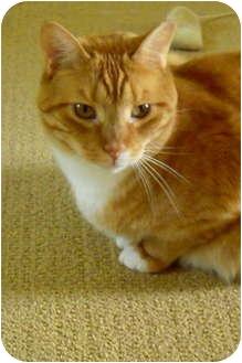 Domestic Shorthair Cat for adoption in Jenkintown, Pennsylvania - Mango