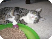Domestic Shorthair Cat for adoption in Arlington, Virginia - Lizzy