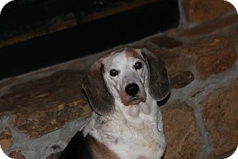 Beagle Dog for adoption in Russellville, Kentucky - Sabrina