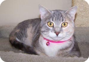 Domestic Shorthair Kitten for adoption in Colorado Springs, Colorado - Abbey