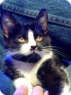 Domestic Shorthair Kitten for adoption in Edmond, Oklahoma - Alice