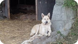 German Shepherd Dog Mix Dog for adoption in Northumberland, Ontario - lacey