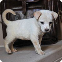 Adopt A Pet :: Lulu - Houston, TX