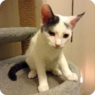 Domestic Shorthair Cat for adoption in Fitchburg, Wisconsin - Keiko