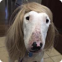 Adopt A Pet :: Bossie - Houston, TX