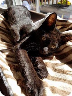 Domestic Shorthair Cat for adoption in Flint HIll, Virginia - River