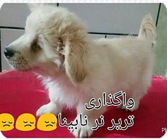 Spitz (Unknown Type, Medium)/Shih Tzu Mix Puppy for adoption in Seattle, Washington - Mika from Iran (Special Needs- Blind)