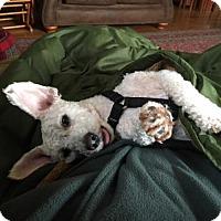 Adopt A Pet :: Marley - Sweet Poodle Mix - Seattle, WA