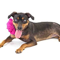 Adopt A Pet :: Dutchess - St. Cloud, FL