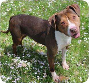American Staffordshire Terrier/Hound (Unknown Type) Mix Dog for adoption in Chicago, Illinois - Montel