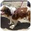 Photo 4 - St. Bernard Dog for adoption in Glendale, Arizona - Tiny