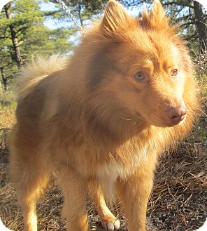 Spitz (Unknown Type, Medium) Mix Dog for adoption in Forked River, New Jersey - Ryder