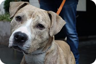 American Staffordshire Terrier Dog for adoption in Long Beach, New York - Jack