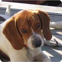 Adopt A Pet :: Boomer - Blairstown, NJ