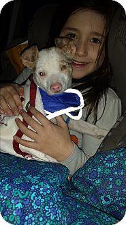 Chihuahua Mix Puppy for adoption in Davisburg, Michigan - Johnny