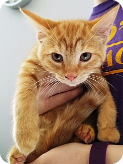 Domestic Longhair Kitten for adoption in Kalamazoo, Michigan - Jack-o-Lantern