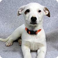Adopt A Pet :: LANA - Westminster, CO